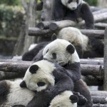 Pandas at the China Giant Panda Protection and Research Center in Wolong, in China's Sichuan province.